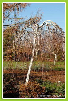 Betula-utilis-'Long-Trunk'
