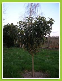 Eryobotria-japonica
