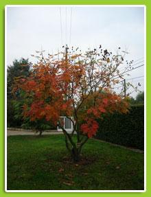 Koelreuteria-paniculata