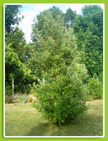 Quercus-kerwensis