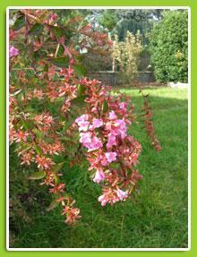 Abelia-grandiflora-Edouard