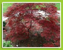 Acer-dissectum-Garnet