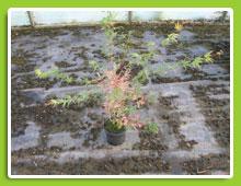Acer-palmatum-Beni-Shishihenge