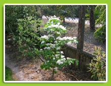 Cornus-florida-Pluribractea