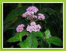 Hydrangea-Dichroa-febrifuga