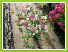 Hydrangea-macrophylla-Hanabi