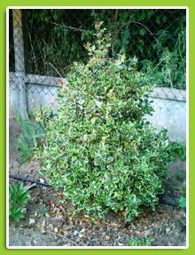 ILEX-aquifolium-Argentea-margin