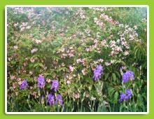 Kolwitzia-amabilis-Pink-Cloud