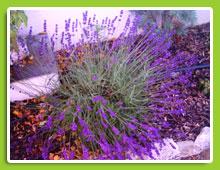 Lavandula-angustifolia--Hidcote