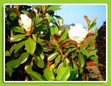 Magniola-grandiflora