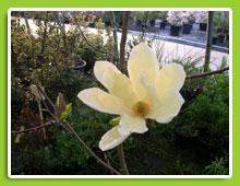 Magnolia-brooklyn-Elysabeth