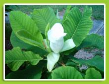 Magnolia-macrophylla