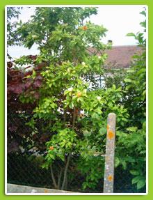 Magnolia-virginiana