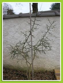 Poncirus-trifoliata