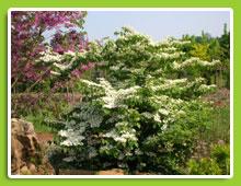Viburnum-plicatum-Lanarth