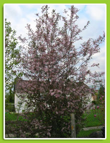 prunus-padus-Coloratus