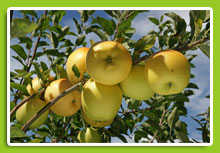 pommier-golden-delicious